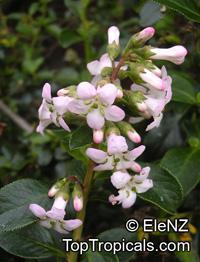 Escallonia sp., Escallonia  Click to see full-size image