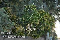 Fagraea berteriana , Perfume Flower Tree, Pua Keni Keni  Click to see full-size image