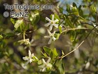 Gardenia jabiluka, Gardenia  Click to see full-size image