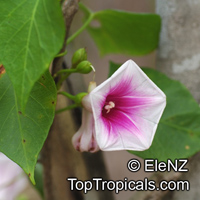 Ipomoea abrupta, Convolvulus abruptus, Bush Potato, Bush YamClick to see full-size image