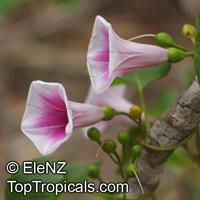 Ipomoea abrupta, Convolvulus abruptus, Bush Potato, Bush Yam  Click to see full-size image