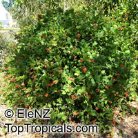 Kennedia macrophylla, Kennedya marryattae, Cape Leewin Climber, Coral Pea  Click to see full-size image