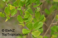 Osbornia octodonta, Myrtle Mangrove  Click to see full-size image