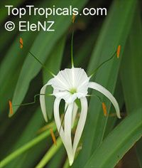 Hymenocallis speciosa, Pancracium speciosum, Spider Lily  Click to see full-size image