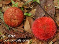 Parkia sumatrana, Parkia   Click to see full-size image