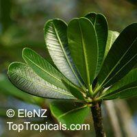 Plumeria cubanensis, Plumeria   Click to see full-size image