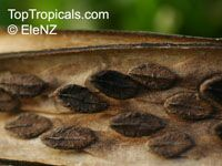 Plumeria stenophylla, Plumeria stenofilla, Frangipani  Click to see full-size image