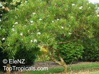 Plumeria stenophylla, Plumeria stenofilla, FrangipaniClick to see full-size image