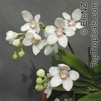 Sarcochilus sp., Sarcochilus  Click to see full-size image