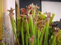 Sarracenia sp., Pitcher Plant  Click to see full-size image