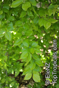 Strychnos lucida, Strychnos nux-vomica, Nux-vomica, Poison Nut, Snake-wood, Strychnine Tree  Click to see full-size image