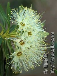 Xanthostemon verticillatus, Little Penda  Click to see full-size image