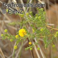 Acacia adoxa, AcaciaClick to see full-size image
