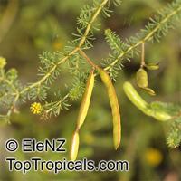 Acacia adoxa, Acacia  Click to see full-size image