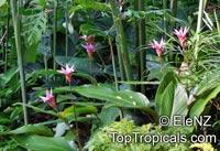 Calathea loeseneri, Brazilian Star Calathea  Click to see full-size image