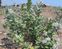 Calotropis gigantea, Giant milkweed, Giant Calotrope, Crown Flower, Arka, Jilledu, Erukkam MadarClick to see full-size image