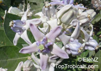 Calotropis gigantea, Giant milkweed, Giant Calotrope, Crown Flower, Arka, Jilledu, Erukkam Madar, White MadaarClick to see full-size image