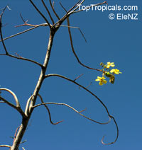 Cochlospermum gregorii, Cotton Tree
