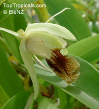 Coelogyne sp., Coelogyne  Click to see full-size image