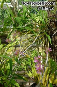 Dendrobium bracteosum, Bracted Dendrobium  Click to see full-size image