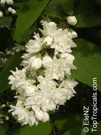 Deutzia sp., Deutzia