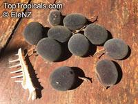 Dialium cochinchinense, Velvet Tamarind, Loog Yi  Click to see full-size image