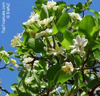 Gardenia sp. , Gardenia  Click to see full-size image