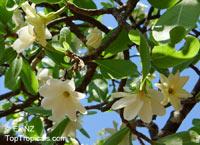 Gardenia sp. , GardeniaClick to see full-size image
