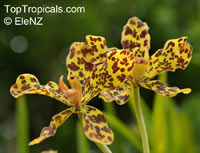 Grammatophyllum speciosum, Giant Orchid, Tiger Orchid, Sugar Cane Orchid  Click to see full-size image