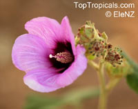 Hibiscus sp., Hibiscus  Click to see full-size image