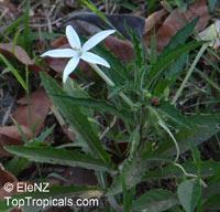 Hippobroma longiflora, Star of BethlehemClick to see full-size image