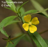 Ludwigia octovalvis, Jussiaea suffruticosa, Jussiaea erecta, False Primrose, Mexican Primrose Willow, Swamp Primrose  Click to see full-size image