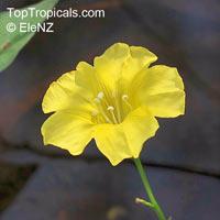 Merremia gemella, Convolvulus gemellus, Ipomoea gemella, Woodrose  Click to see full-size image