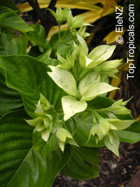 Mussaenda sp., Mussaenda  Click to see full-size image