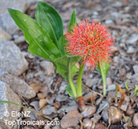 Scadoxus multiflorus, Haemanthus katherinae, Haemanthus multiflorus, Blood Lily, Sea Egg, Powder Puff  Click to see full-size image