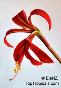 Sprekelia formosissima , Aztec Lily, Jacobean Lily, Orchid Lily  Click to see full-size image