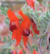 Swainsona formosa, Clianthus formosus, Clianthus dampieri, Sturt's desert pea  Click to see full-size image