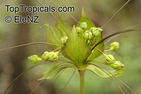 Tacca plantaginea, Tacca leontopetaloides, Green Bat Flower, East Indian ArrowrootClick to see full-size image