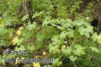 Trichosanthes holtzei, Trichosanthes  Click to see full-size image
