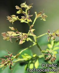 Arfeuillea arborescens, Koelreuteria arborescens, Hop TreeClick to see full-size image