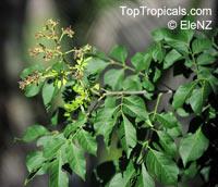 Arfeuillea arborescens, Koelreuteria arborescens, Hop Tree  Click to see full-size image