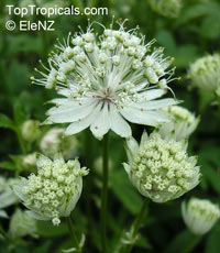 Astrantia sp., Masterwort
