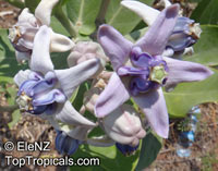 Calotropis gigantea, Giant milkweed, Giant Calotrope, Crown Flower