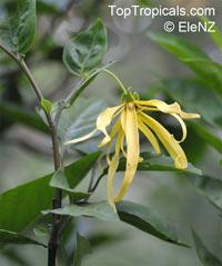 Cananga odorata, Unona odoratissima, Ylang Ylang, Perfume Tree, Chanel #5 Tree, Ilang-ilang, Maramar  Click to see full-size image