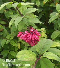 Cestrum elegans, Cestrum newellii, Butterfly flower, Red cestrum  Click to see full-size image
