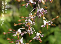 Dendrobium sp., Dendrobium Orchid  Click to see full-size image
