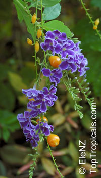 Duranta erecta - seeds  Click to see full-size image