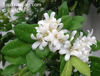Murraya paniculata, Orange Jasmine, Orange Jessamine, Mock Orange, Lakeview Jasmine, Chinese Cosmetic BoxwoodClick to see full-size image