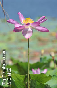 Nelumbo nucifera, Asiatic Lotus