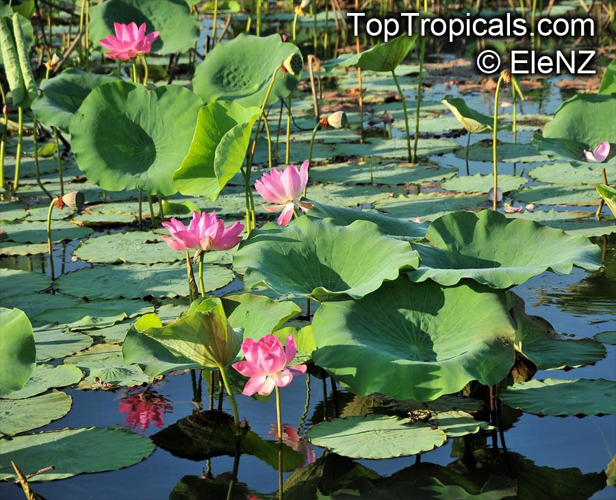 Superb Nelumbo Nucifera, Asiatic Lotus Click To See Full Size Image